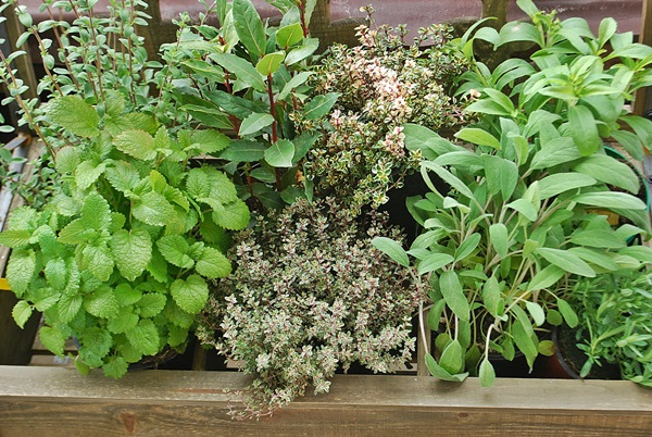 Łatwe dla każdego -zioła w doniczkach