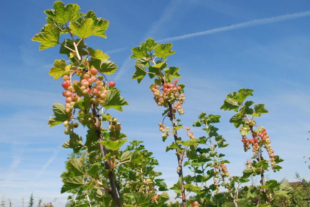Cięcie drzew i krzewów owocowych
