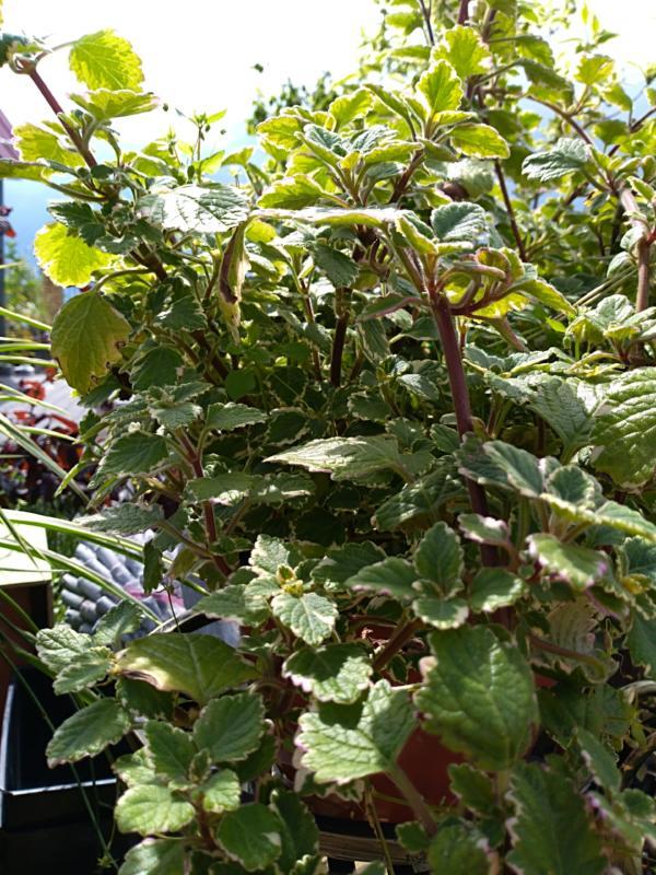 Rośliną w komara