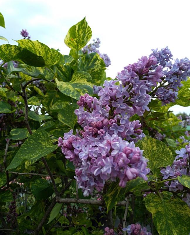 Ulotne piękno czyli kwiaty bzu