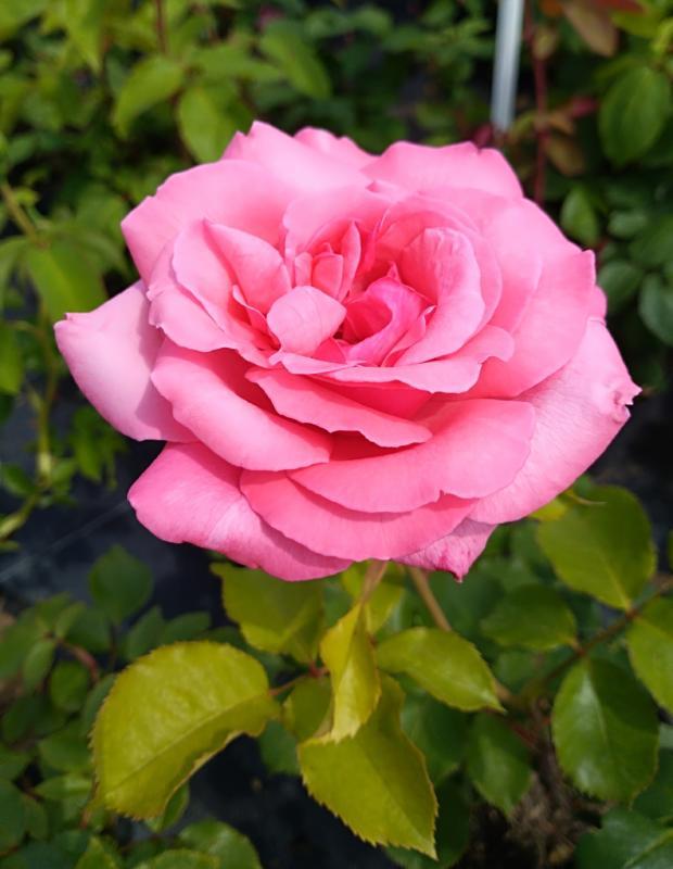 Róże w doniczkach