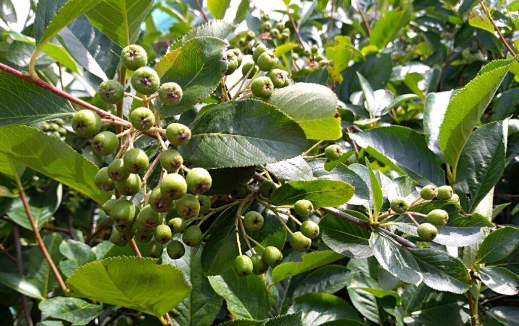Aronia super owoc na działkę