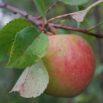 Kupujemy i sadzimy drzewka owocowe